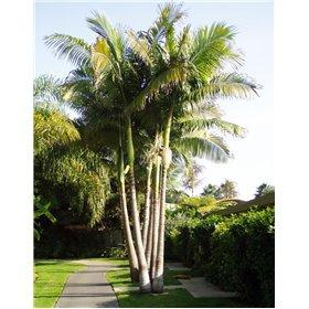 http://www.semena-rostliny.cz/25453-thickbox/archontophoenix-alexandrae-king-palm.jpg