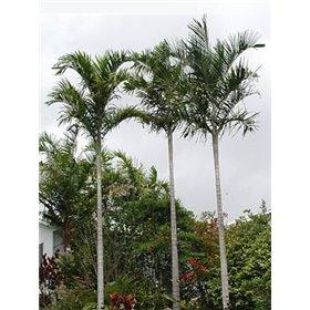 http://www.semena-rostliny.cz/25454-thickbox/carpentaria-acuminata-carpentaria-palm.jpg