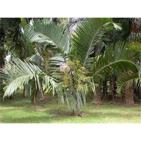 http://www.semena-rostliny.cz/25456-thickbox/dypsis-prestoniana-tavilo-palm.jpg
