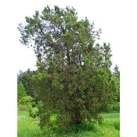 http://www.semena-rostliny.cz/25459-thickbox/platycladus-orientalis.jpg