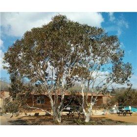 http://www.semena-rostliny.cz/25461-thickbox/eucalyptus-pauciflora-subsp-niphophila-alpine-snow-gum.jpg