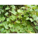 Réva pobřežní (Vitis Riparia) - 6 semen