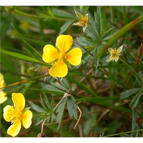 http://www.semena-rostliny.cz/25471-thickbox/potentilla-erecta.jpg