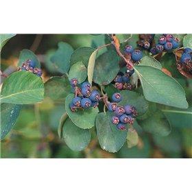 Muchovník olšolistý (Amelanchier alnifolia) 8 semen