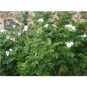 Růže svraskalá (Rosa rugosa) 10 semen