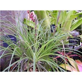 http://www.semena-rostliny.cz/25481-thickbox/puya-mirabilis.jpg