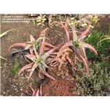 Aloe megalacantha (Aloe megalacantha x A. sinkatana) - 6 semen