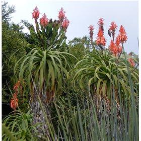 http://www.semena-rostliny.cz/25489-thickbox/aloe-pluridens.jpg