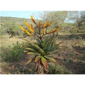 http://www.semena-rostliny.cz/25491-thickbox/aloe-spectabilis.jpg