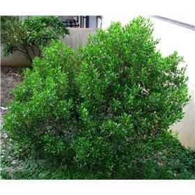 http://www.semena-rostliny.cz/25501-thickbox/dodonaea-viscosa.jpg