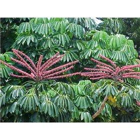 http://www.semena-rostliny.cz/25502-thickbox/schefflera-actinophylla.jpg