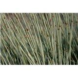 Chvojník prostřední (Ephedra intermedia) - 8 semen