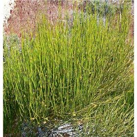 http://www.semena-rostliny.cz/25507-thickbox/ephedra-viridis.jpg