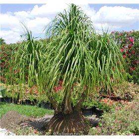 http://www.semena-rostliny.cz/25512-thickbox/beaucarnea-guatemalensis.jpg