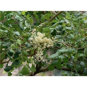 http://www.semena-rostliny.cz/25514-thickbox/dalbergia-latifolia.jpg