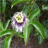Mučenka  - semínka rostliny 12 ks