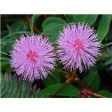 Mimosa pudika -masožravka- semínka rostliny 7 ks