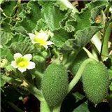 Tykvice stříkava - semínka rostliny 12 ks