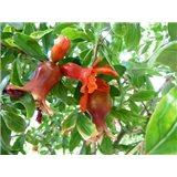 Granátové jablko - semínka rostliny 7 ks