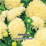 Astra čínská , pivoňkovitá - Junona - semena 0,4 g