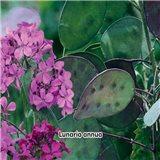 Měsíčnice roční -  Perleťové šešule - semena 1 g