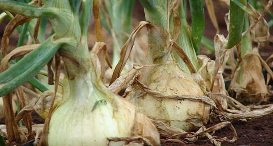 Rastlina cibule