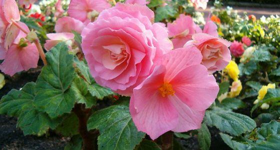 begónie s růžovým květem