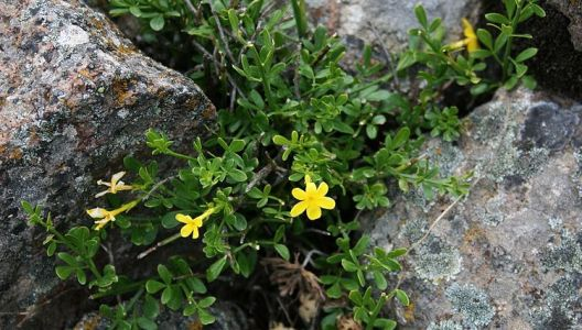 Jasmín křovitý lze pěstovat i venku