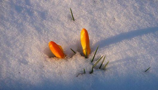 Truhlíky mohou v březnu ozdobit jarní cibuloviny.