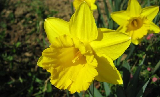Nádherné žlté kvety narcisu