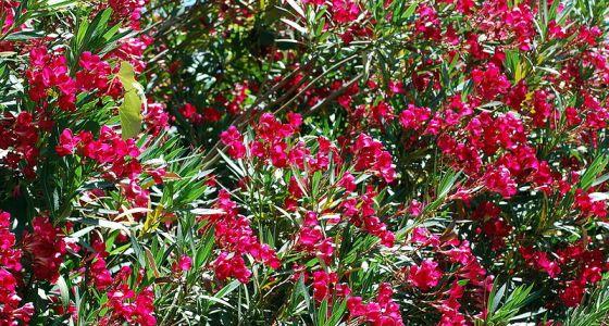 kvetoucí keř oleandru