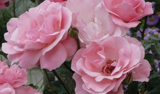 Kvety ruže