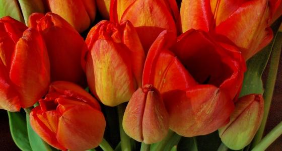 Kvety tulipánov na záhradke