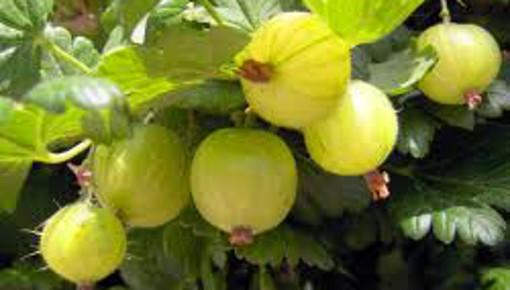 Angrešt je oblíbené zahradní ovoce.