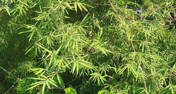 rostlina bambusu