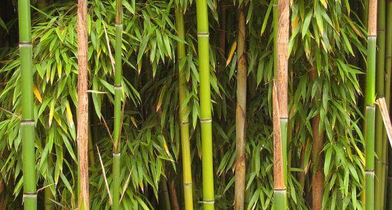 stébla bambusu