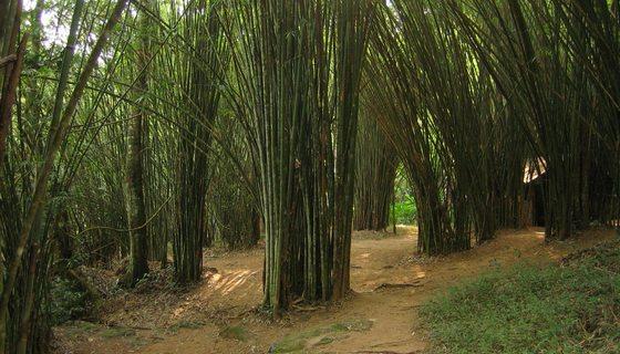 bambus thaisko