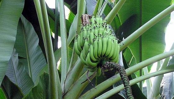 banánovník - musa