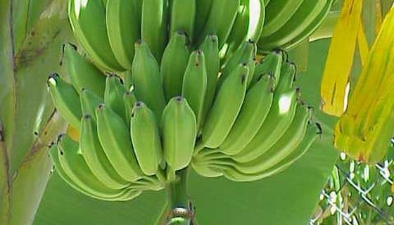 chutné banány