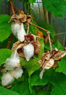 bavlník bylinný