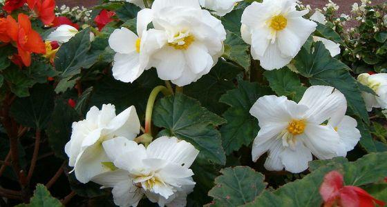 begónie s bílým květem