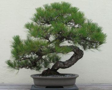 bonsaj - borovica čierna