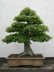 Listová bonsai