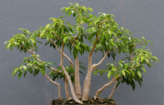 bonsaj - fíkus benjamina