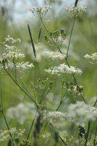 Kmín kořenný (carum carvi) v přírodě.