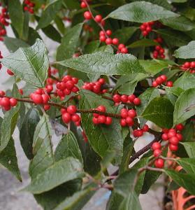 Cesmína přeslenitá má vejčité listy a tvoří spoustu okrasných červených bobulí