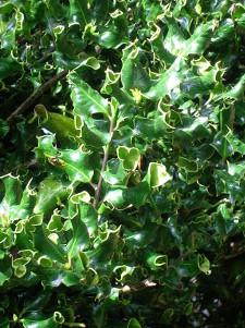 Některé druhy cesmín mají zvláštně vybarvené, panašované nebo pokroucené listy.