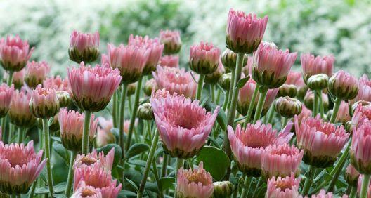 Záhony v listopadu krášlí chryzantémy.