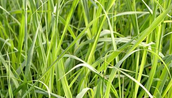 citronela neboli lemongrass