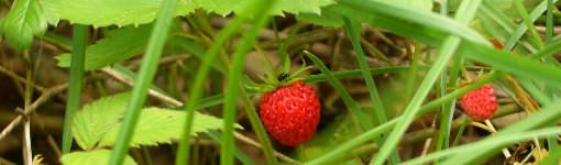 Divoké lesní jahody jsou silným antioxidantem a léčivým ovocem.